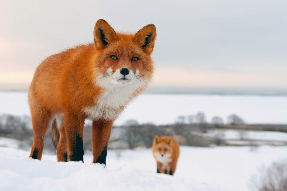 лисы россии фото