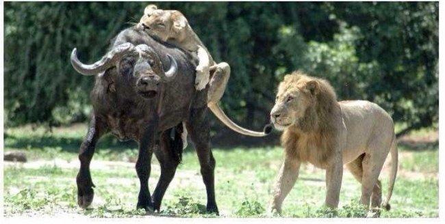 Как лев львице на охоте помогал
